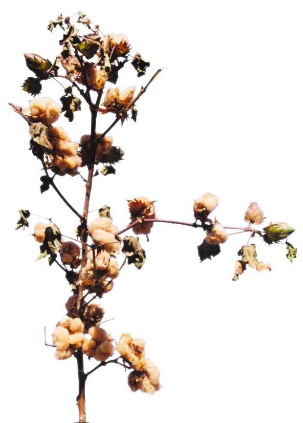 natural color cotton